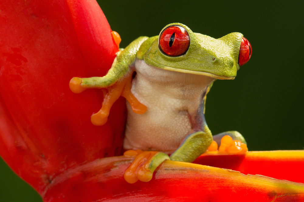 """Red-Eyed Tree Frog <br /> <br /> Available sizes:<br /> 12"""" x 18"""" print <br /> <br /> See Pricing page for more information. Please contact me for custom sizes and print options including canvas wraps, metal prints, assorted paper options, etc. <br /> <br /> I enjoy working with buyers to help them with all their home and commercial wall art needs."""