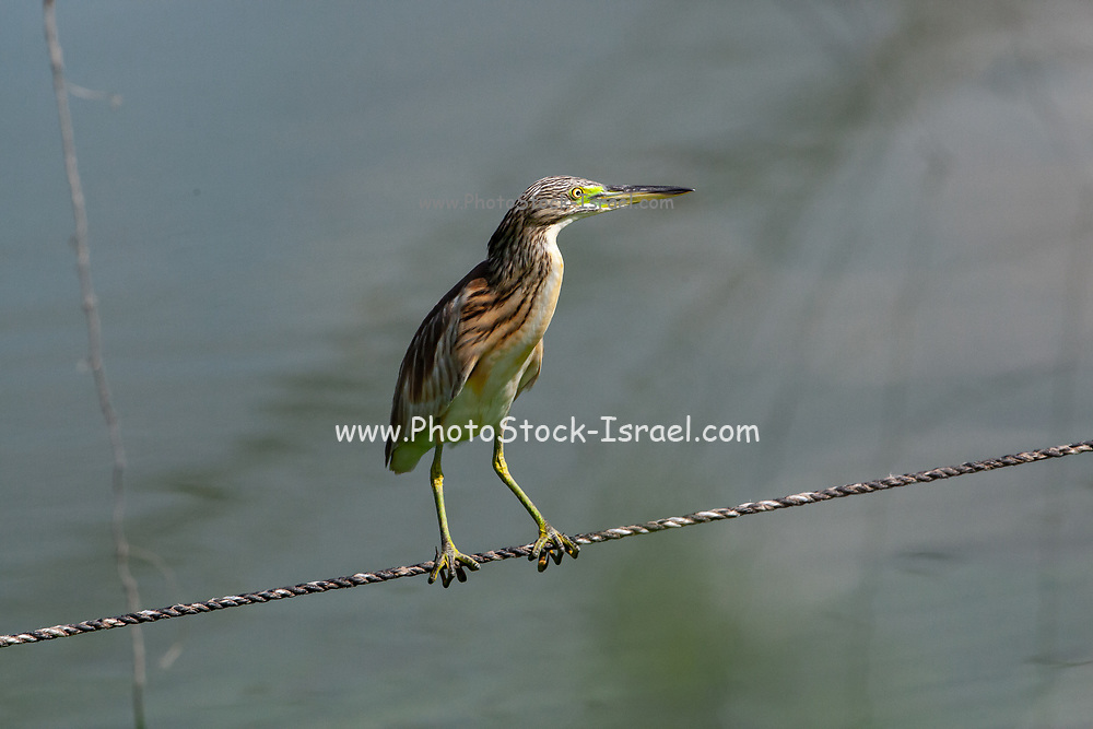 squacco heron (Ardeola ralloides). This small heron mainly feeds on insects, but also takes birds, fish and frogs. It is found in southern Europe, West Asia and southern Africa. Photographed in Israel in September