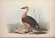 Dendrocygna vagans from Zoologia typica; or, Figures of new and rare animals and birds described in the proceedings, or exhibited in the collections of the Zoological Society of London. By Fraser, Louis. Zoological Society of London. Published London, March 1847