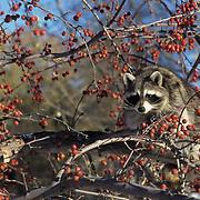Raccoon, (Procyon lotor) Feeding on crabapples. Captive Animal.