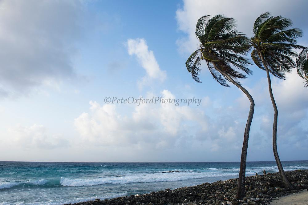 Coconut Palm (Cocos nucifera)<br /> Halfmoon Caye<br /> Lighthouse Reef Atoll<br /> BELIZE, Central America