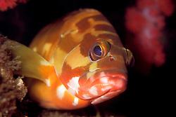 black-tipped grouper, brown color phase, Epinephelus fasciatus, Osezaki, Izu Peninsula, Shizuoka, Suruga Bay, Japan, Pacific Ocean