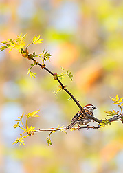 A Chipping Sparrow Perched In A Tree Under Vibrant Evening Light