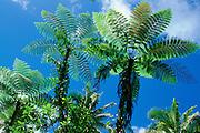 Tree fern, Upolu, Samoa<br />