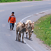 Americas, South America, Peru. Young boy walks his donkeys along the road of the Sacred Valley.
