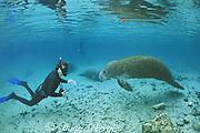 biologist Bob Bonde studies Florida manatees, Trichechus manatus latirostris, Three Sisters Spring, Crystal River National Wildlife Refuge, Crystal River, Florida, USA, North America