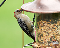 Red-bellied Woodpecker. Image taken with a Nikon Df camera and 300 mm f/4 lens.