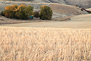 cut wheat fields and grove of trees autumn, Blue Mtns, WA, USA