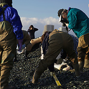 Researchers measuring and photographing humpback whale calf (Megaptera novaeangliae) that washed ashore on 3 January 2012 in Odawara, Japan. Measured 6.87 meters long and was male. Cause of death unknown. This humpback whale calf is the third smallest one recorded to date that has stranded or washed ashore in Japan. It is the third deceased calf to have been found in the 2011-2012 breeding and calving season. Members of the science community recording measurements for Japan's cetacean stranding database.
