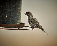 Female House Finch. Image taken with a Nikon D850 camera and 500 mm f/4 VR telephoto lens (ISO 250, 500 mm, f/4, 1/500 sec).