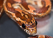 Close up of a young corn snake or red rat snake (Elaphe guttata) showing the striking boldly marked red skin and huge bulging eyes. Vivarium, North Wales