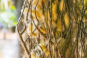 Silk plantation, Koh Oknha Tey Island, Cambodia