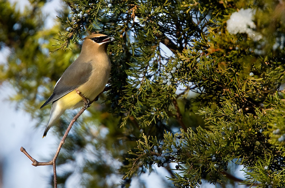 The Cedar Waxwing (Bombycilla cedrorum) is a member of the family Bombycillidae or waxwing family of passerine birds. It breeds in open wooded areas in North America, principally southern Canada and the northern United States.
