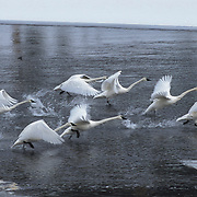 Trumpeter swans (Cygnus buccinator) on the Madison River in Yellowstone National Park.