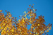 Golden autumn birch leaves backlit against a blue sky, Acadia National Park, Maine.
