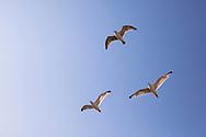 sea gulls over the beach in Oostkapelle on the peninsula Walcheren, Zeeland, Netherlands.<br /> <br /> Moewen ueber dem Strand bei Oostkapelle auf Walcheren, Zeeland, Niederlande.