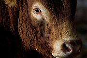 South Devon bull at Sheepdrove Organic Farm, Lambourn, England