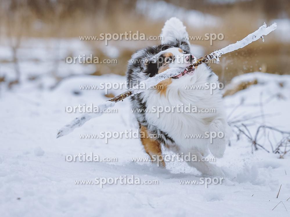 THEMENBILD - ein Australian Shepherd im Schnee in der winterlichen Landschaft, aufgenommen am 17. März 2021, Kaprun, Österreich // an Australian Shepherd in the snow in the winter landscape, Kaprun, Austria on 2021/03/17. EXPA Pictures © 2021, PhotoCredit: EXPA/ JFK