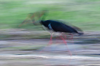 Black Stork blurred (Ciconia Negra), Fisher pond, Prypiat area, Belarus