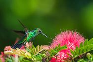 Blue-tailed Emerald (Chlorostilbon mellisugus) in flight, feeding on Pink Fairy Duster (calliandra inaequilatera). Trinidad
