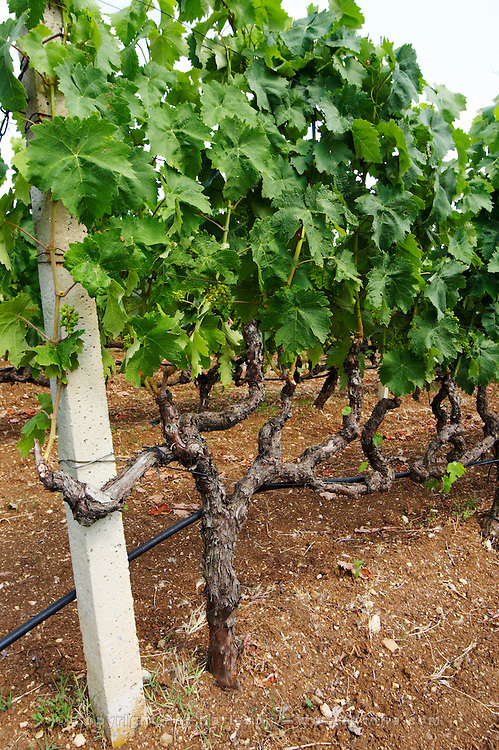 Vines. Vineyard. Strantza village near Naoussa. Macedonia, Greece.
