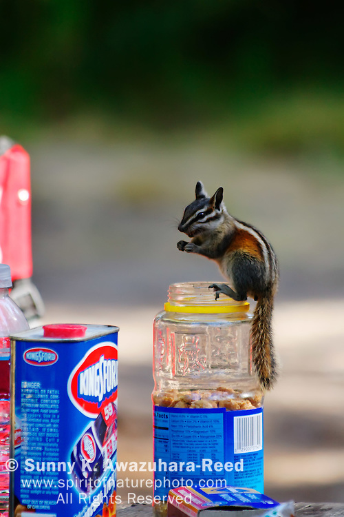 Chipmunk stealing food from campers