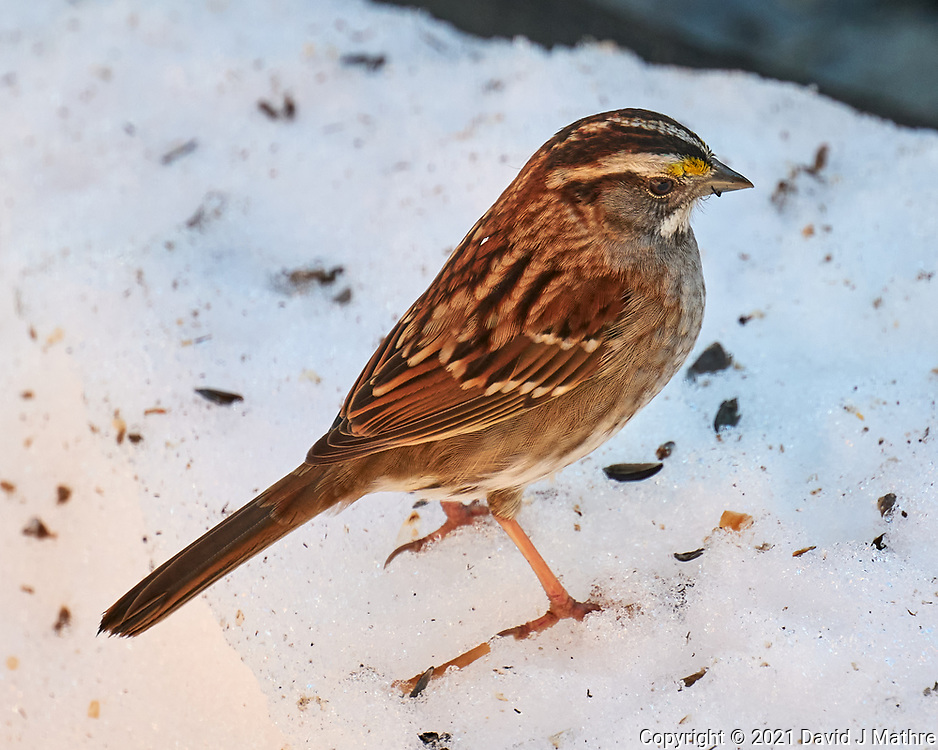 White-throated Sparrow (Zonotrichia albicollis). Image taken with a Leica CL camera and 90-280 mm lens.