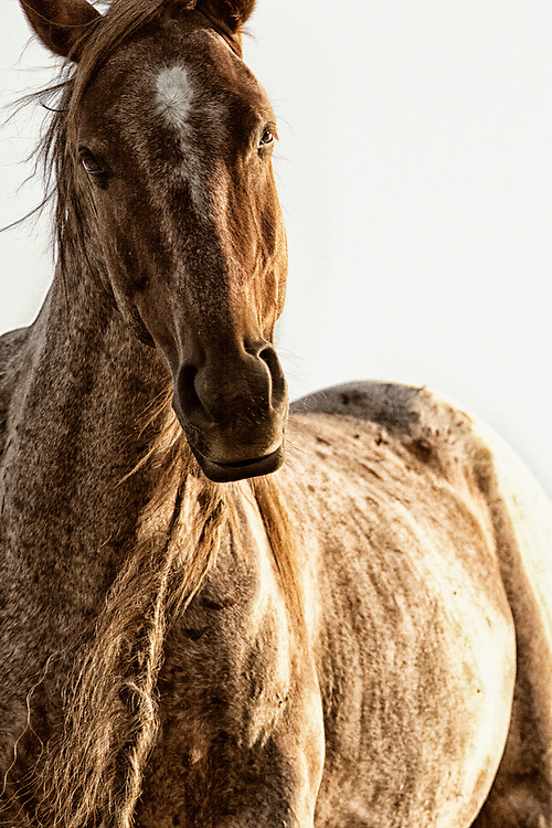 capturing the perfect moment of this reddish brown wild mustang with just the perfect tilt to his head and gleaming curious look in his eye made it impossible for me to name this piece anything other than Curiosus - meaning curious one in greek.