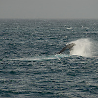 A Fin Whale swims in the Bransfield Strait, north of Antarctica.