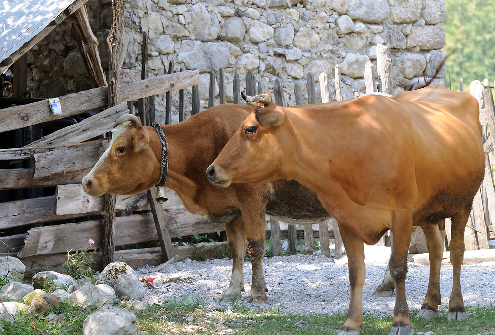 Two cows, one with a bell round its neck,  in a farm yard. Theth, Thethi, Albania. 02Sep15