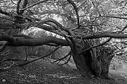 Veteran yew tree (Taxus baccata).  Druids Grove, Norbury Park, Surrey, UK.<br /> <br /> Measured at 18.7 feet or 5.7 metres in girth at the root crown (Norton & Milner, 2012).