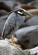 This Yellow-crowned Night Heron (Nycticorax violaceus or Nyctanassa violacea) lives on Isla Genovesa (or Tower Island). This bird species is common throughout the Galápagos Islands of Ecuador, South America.  It is mainly active at night catching beetles, locusts, insects, crabs, scorpions and centipedes. They have short yellow legs, orange or red eyes with a white stripe below, a white crown and white back with the remainder of the body grayish. Juveniles resemble young Black-crowned Night-Herons, being mainly brown flecked with white or gray. The Yellow-crowned Night Heron is similar in appearance to the Black-crowned Night Heron. In warmer locations of the Americas, such as coastal Brazil, some are permanent residents; others migrate to Central America and the West Indies. They may occasionally wander north to the lower Great Lakes or Ontario after the breeding season.