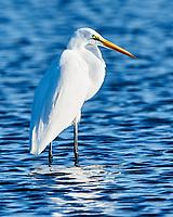 Great Egret (Ardea alba). Fort De Soto County Park. St. Petersburg, Florida. Image taken with a Nikon D3x camera and 500 mm f/4 VR lens.