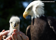 Warwick Castles latest new arrival a baby Bald Eagle..Picture by Shaun Fellows / Shine Pictures UK