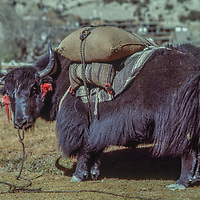 A yak waits with a load in Braga, Nepal