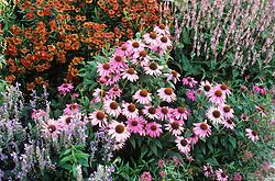 Echinacea purpurea, Scutelaria incana, Persicaria amplexicaulis 'Rosea', Centranthus ruber var. coccineus and Helenium ' Kupferzwerg' in a border at Green Farm Plants