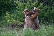 Subadult brown bears at play