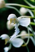 White Fringed Orchid (Platanthera blephariglottis) in bog - Mississippi