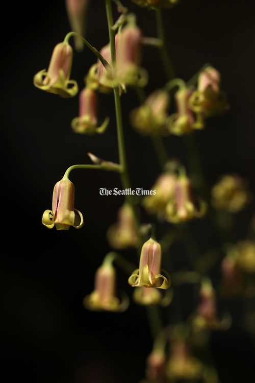 Bronze bells bloom on the trail to Cascade Pass in North Cascades National Park. (Erika Schultz / The Seattle Times)