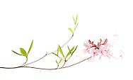 Pixter Flower (Rhododendron periclymenoides)