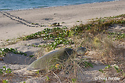 Australian flatback sea turtle, Natator depressus, females crawl up beach to nest in dunes at top of beach, Crab Island, off Cape York Peninsula, Torres Strait, Queensland, Australia