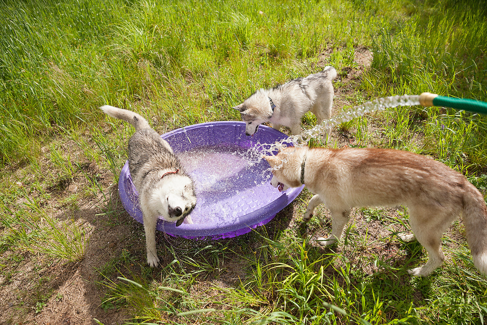 Siberian Husky dogs playing in wading pool