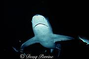 bull shark, Carcharhinus leucas (c)