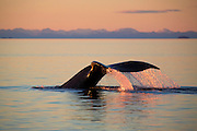 Humpback whale at sunset, Tongass National Forest, Alaska.