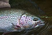 Leopard Rainbow Trout - Gorgeous