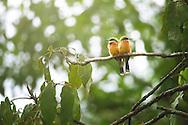 Two cinnamon-chested bee-eaters (Merops oreobates) in Nyungwe forest, Rwanda