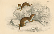Weasel (Putorius nivalis/Mustela vulgaris) the smallest European carnivore.   Often confused with its larger relative the Stoat (Mustela erminea), a confusion expressed in the English country saying 'A Stoat is weasily recognised, whereas a Weasel is stoatallly different.'  From 'British Quadrupeds', W MacGillivray, (Edinburgh, 1828), one of the volumes in William Jardine's Naturalist's Library series. Hand-coloured engraving.
