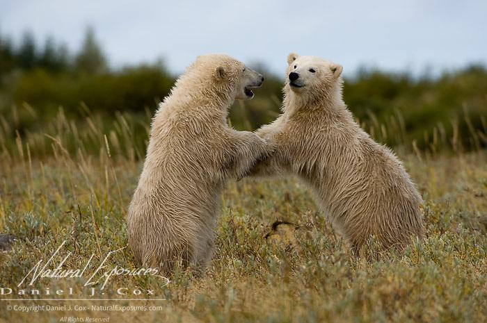 Polar Bear (Ursus maritimus)  cubs playing, south of Churchill, Manitoba