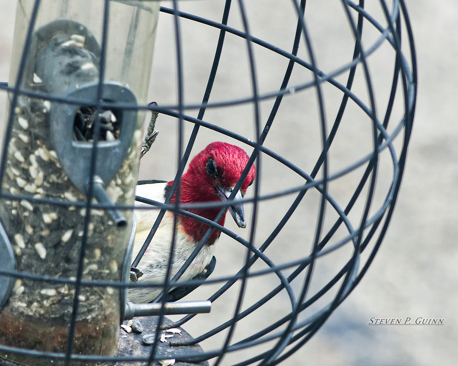 """I captured this image of a Red-headed Woodpecker at my bird feeder on June 25th, 2017. I was watching my bird feeder with my camera waiting and saw this woodpecker on the feeder when it peeked it's head around the seed holder. The two elements I like the most is I was able to photograph it while it had a seed in it's beak and capturing the fine detail of the woodpecker's feathers. I also wanted to capture the vivid red color of the bird's head as well.<br /> <br /> Printed on Hahnemühle German Etching paper. Limited to 300 productions per size.<br /> <br /> Framed prints are available in 20"""" x 16"""" and 30"""" x 24"""" sizes."""