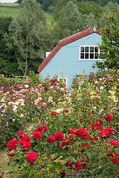 Mass of roses at Country Roses, Essex